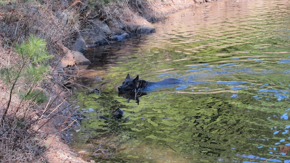 Lady is a natural swimmer, but the still cold water shortened her stay in the clear pond water. Photo credit: Tim Carter - W3ATB
