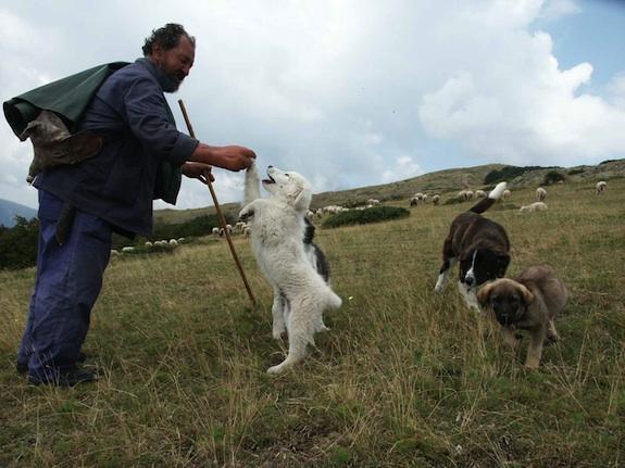 Bulgarian Shepherd